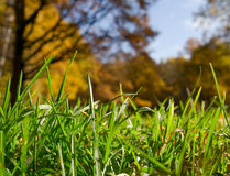 Erba verde sopra la priorità bassa d'autunno della foresta immagine stock