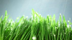 Erba verde sotto la pioggia archivi video