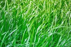 Erba verde spessa tra altra pianta della giungla nel mio giardino tropicale fertile Questa bella erba selvatica fa parte di un pa Fotografia Stock Libera da Diritti