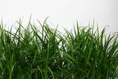 Erba verde su priorità bassa bianca Fotografia Stock