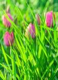 Erba verde su un fondo dei tulipani rosa Fotografia Stock Libera da Diritti