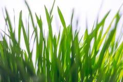 Erba verde su una priorità bassa bianca Fotografia Stock Libera da Diritti