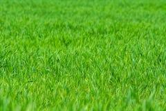 Erba verde sul campo - fondo immagine stock