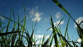 Erba verde sulla priorità bassa del cielo blu fotografia stock libera da diritti
