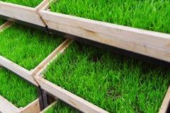 Erba verde in una scatola di legno Immagini Stock Libere da Diritti