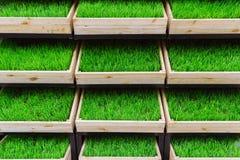 Erba verde in una scatola di legno Immagine Stock