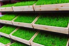 Erba verde in una scatola di legno Fotografie Stock