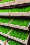 Erba verde in una scatola di legno Fotografia Stock Libera da Diritti