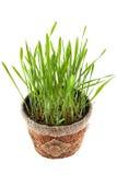 Erba verde in vaso marrone isolato su fondo bianco Vista da Fotografia Stock