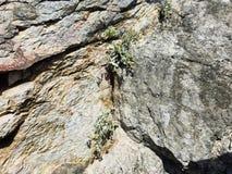 Erbacce che crescono in crepa della parete rocciosa Fotografia Stock