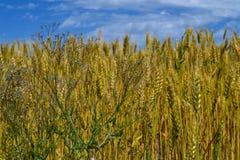 Erbacce e giacimento di grano Fotografia Stock Libera da Diritti