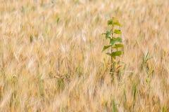 Erbacce nei campi del raccolto di grano che peggiorano Fotografia Stock