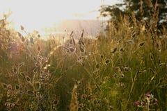 Erbacce nel tramonto Fotografie Stock Libere da Diritti