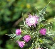 Erbacce in piena fioritura fotografie stock