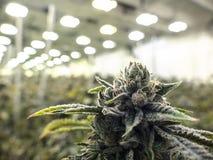 Erbaccia commerciale Bud Grown sulla pianta nell'ambito delle luci del magazzino immagine stock