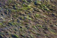 Erbaccia del mare Fotografia Stock