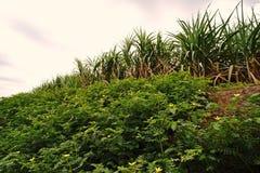 Erbaccia del Tribulus nel campo di agricoltura Fotografia Stock Libera da Diritti