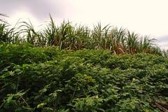 Erbaccia del Tribulus nel campo di agricoltura Fotografia Stock