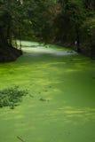 Erbaccia dell'acqua in palude Fotografia Stock