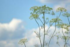 Erbaccia e cielo blu di aneto Immagine Stock