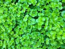 Erbaccia e fondo verdi Fotografia Stock