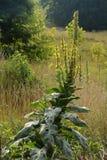 Erbaccia in fioritura Fotografia Stock