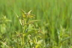 Erbaccia fresca nei giacimenti del riso Fotografie Stock
