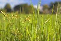 Erbaccia fresca nei giacimenti del riso Immagine Stock Libera da Diritti