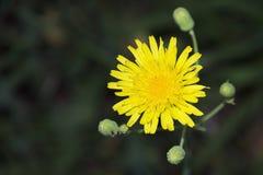 Erbaccia gialla Fotografie Stock