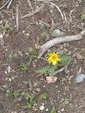Erbaccia gialla 5 del fiore fotografia stock