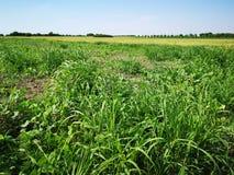 Erbaccia nel campo di agricoltura immagini stock