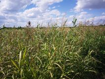 Erbaccia nel campo di agricoltura fotografia stock