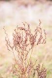 Erbaccia rossa selvatica, erba, pianta con i semi Fotografie Stock Libere da Diritti