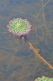 Erbaccia verde in piccolo stagno Fotografia Stock Libera da Diritti