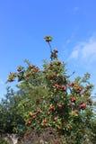 Erbapfelbaum beladen mit Frucht im Herbst Stockbild