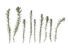 Erbario Composizione dell'erba su un fondo bianco Fotografia Stock