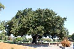 Erbbaum, Küste Live Oak, Ficus agrifolia Stockbilder