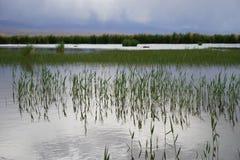Erbe acquatiche Fotografie Stock