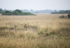 Erbe alte con la leonessa in regina Elizabeth National Park, Ugan Fotografie Stock