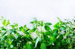 Erbe aromatiche fresche verdi - melissa, menta, timo, basilico, prezzemolo su fondo bianco Struttura del collage dell'insegna dal Fotografia Stock