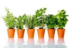 Erbe culinarie fresche che crescono in vasi su fondo bianco Fotografie Stock