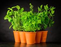 Erbe culinarie in vasi delle terraglie su fondo scuro Fotografie Stock Libere da Diritti