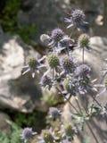 Erbe curative Planum del Eryngium Mare blu, agrifoglio viola healthcar Fotografie Stock