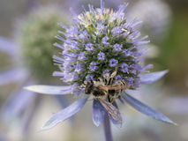 Erbe curative Planum del Eryngium Mare blu, agrifoglio viola healthcar Fotografie Stock Libere da Diritti