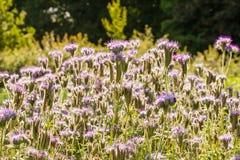 Erbe del Bugloss della vipera nel campo. Immagine Stock