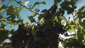 Erbe dell'uva con le bacche che appendono sui sostegni alla serra di viti video d archivio