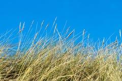 Erbe della duna dettagliatamente Fotografia Stock