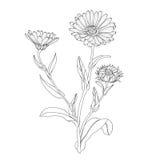 Erbe e calendula medicinali dei fiori Immagini Stock