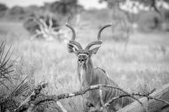 Erbe medie del toro di Kudu alte Immagine Stock Libera da Diritti