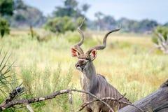 Erbe medie del toro di Kudu alte Fotografia Stock